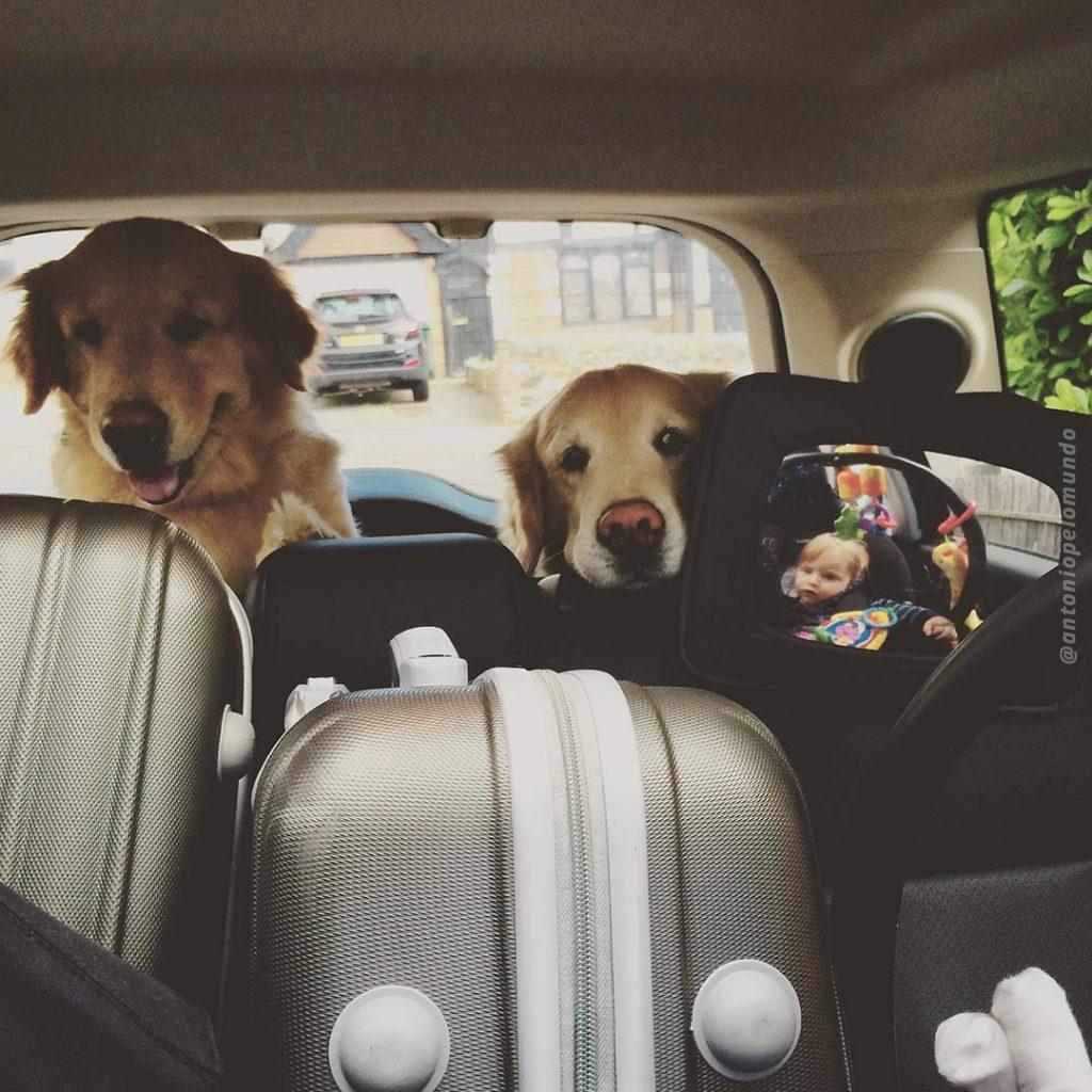 Cachorras no banco traseiro do carro