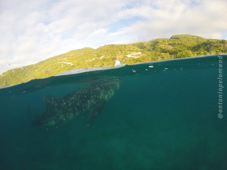 Whale Shark Wathing Oslob - Cebu