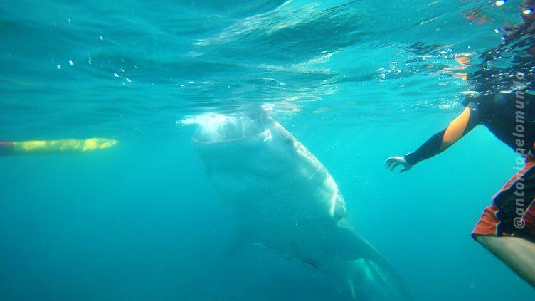 Whale shark wathing Cebu
